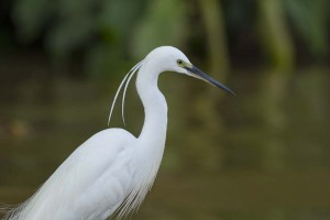 greay egret